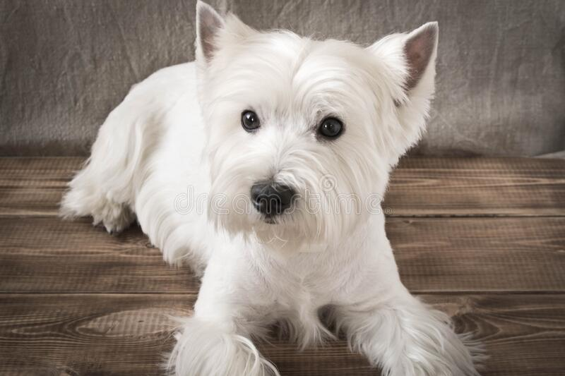 The West highland white Terrier is lying on the floor.  stock photo