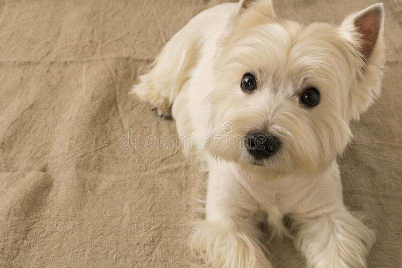 The West highland white Terrier is lying on the floor.  stock images