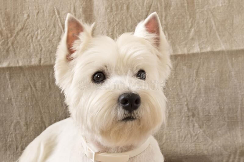 The West highland white Terrier is lying on the floor.  stock photos