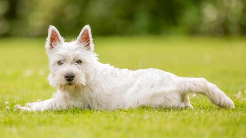 West Highland White Terrier lying on the grass looking at the camera royalty free stock photos
