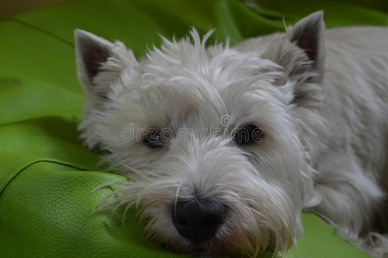 West Highland White Terrier Lying On His Bed. Westy. Nature, Dog, Pet, Portrait. stock images