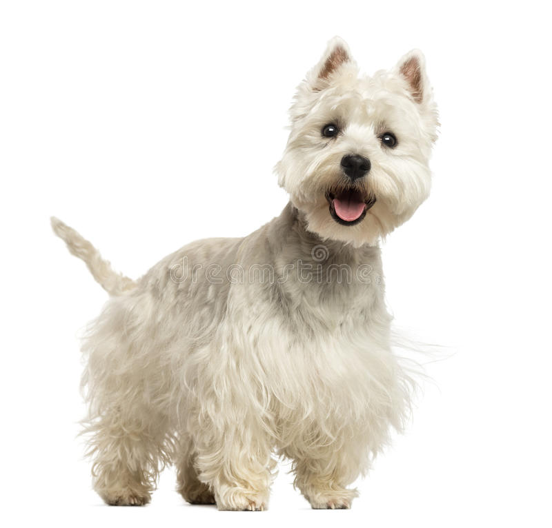 West Highland White Terrier panting, looking happy, 18 months. Old, isolated on white stock photos