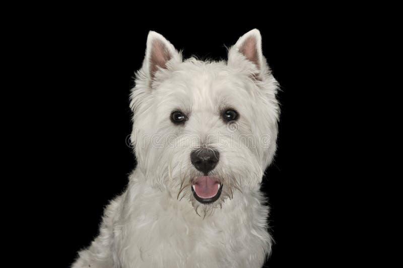 West Highland White Terrier-Porträt in einem schwarzen Studio stockfotografie