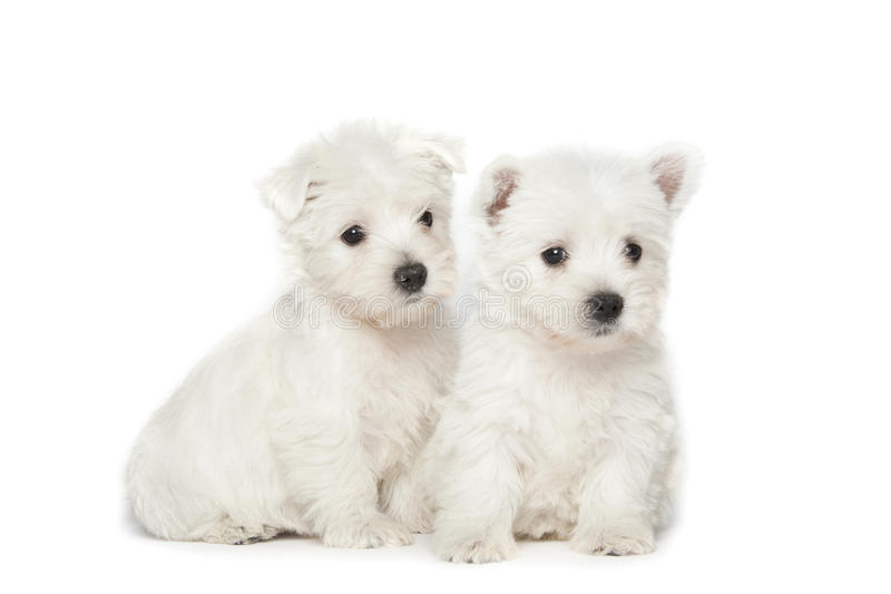 West Highland White Terrier puppies royalty free stock photography