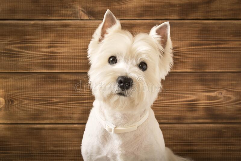West highland white Terrier sits on a wooden background.  stock image