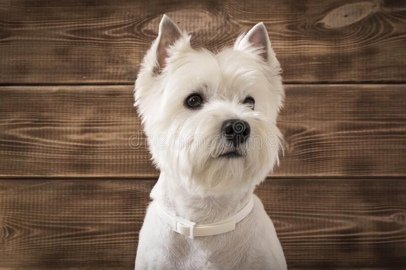 West highland white Terrier sits on a wooden background.  stock photography