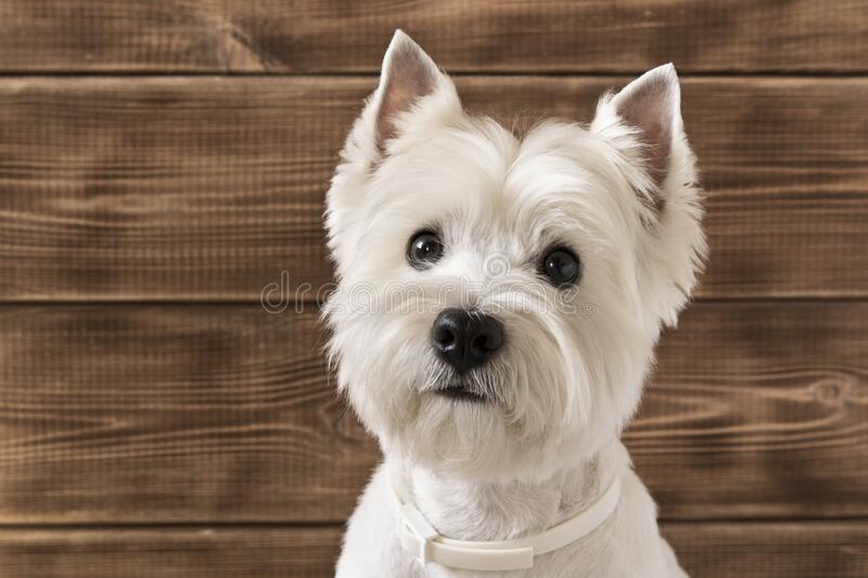 West highland white Terrier sits on a wooden background.  stock photo