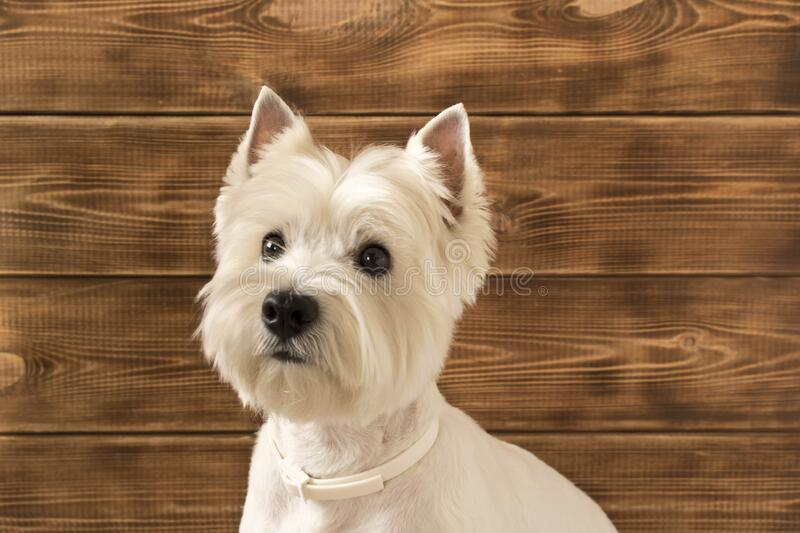West highland white Terrier sits on a wooden background.  stock photos