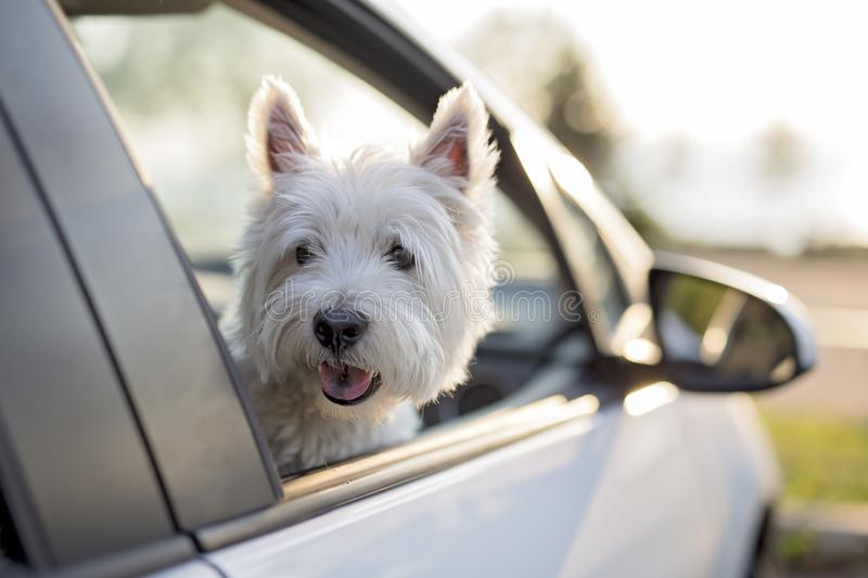 West highland white terrier a very good looking dog. A west highland white terrier a very good looking dog stock images
