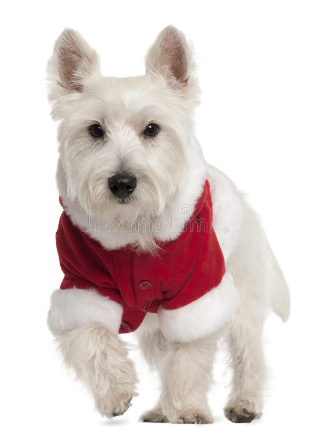 West Highland White Terrier wearing Santa outfit stock photo