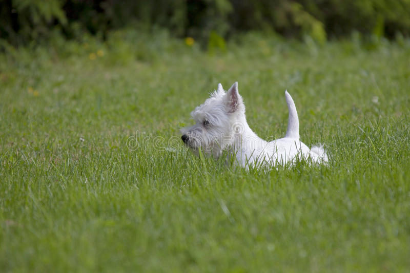 West Highland White Terrier-Welpe lizenzfreie stockbilder