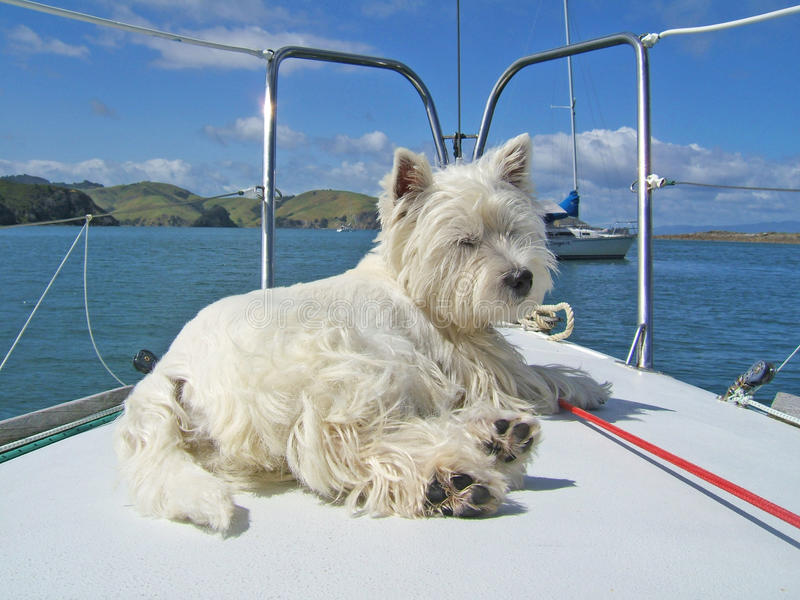 West highland white terrier westie dog on bow of sailboat. West highland white terrier westie dog relaxing on the bow of a sailboat. Photographed in New Zealand royalty free stock photos
