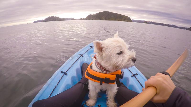 West highland white terrier westie dog kayaking in Paihia, Bay o. West highland white terrier westie dog wearing life jacket kayaking in Paihia, Bay of Islands royalty free stock photos