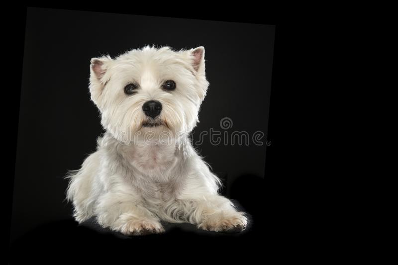 West highland white terrier or westie dog looking at the camera. Lying down on a black background stock photography