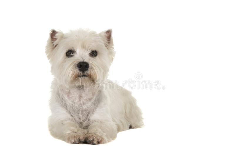 West highland white terrier or westie dog lying down looking at stock images