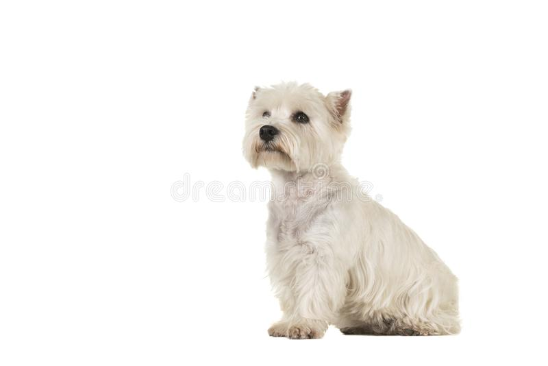 West highland white terrier or westie dog sitting looking up see. N from the side isolated on a white background royalty free stock photo