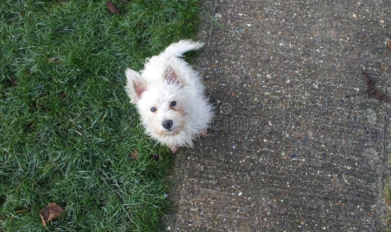 West Highland White Terrier/Westie-Welpe stockfoto