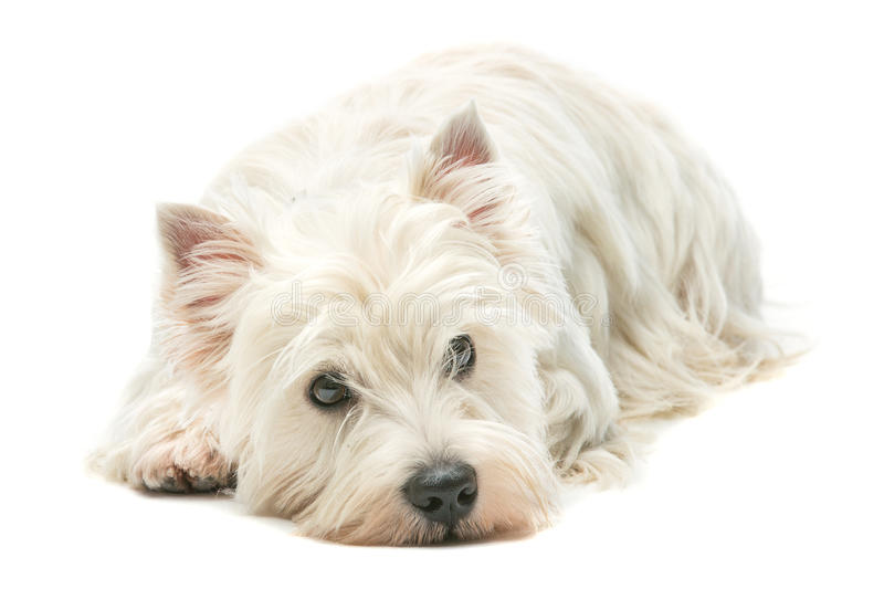 West highland white terrier. West highland whit terrier lying over white background royalty free stock photos