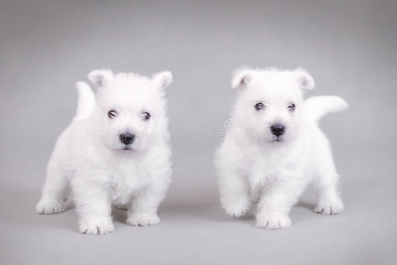 West Highland White Terrier3 stock photos