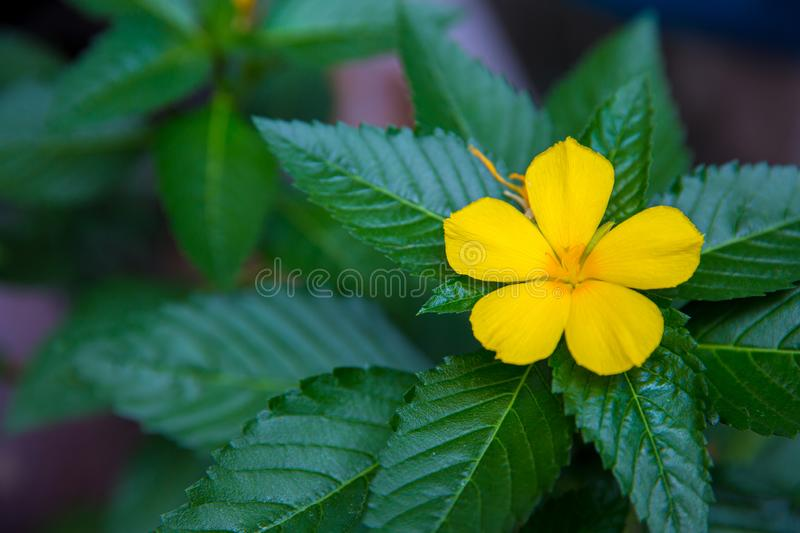 West India holly, Close up of yellow alder. yellow Sage rose. Yellow flowers that bloom in relax time receive the light of the sunrise on the morning of spring royalty free stock image