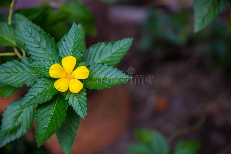 West India holly, Close up of yellow alder. yellow Sage rose. Yellow flowers that bloom in relax time receive the light of the sunrise on the morning of spring royalty free stock images