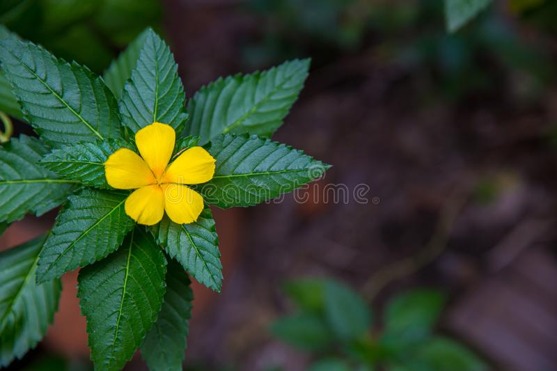 West India holly, Close up of yellow alder. yellow Sage rose. Yellow flowers that bloom in relax time receive the light of the sunrise on the morning of spring stock images