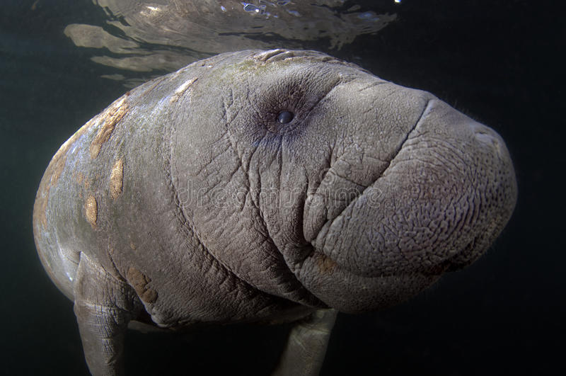 West- India Manatee stock foto's