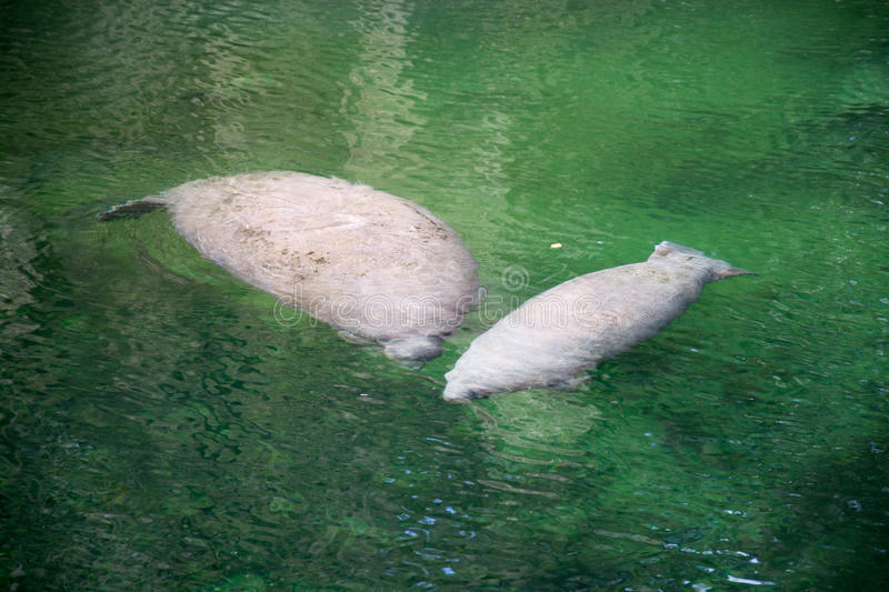 West Indian Manatee, Blue Spring, Florida, USA royalty free stock image