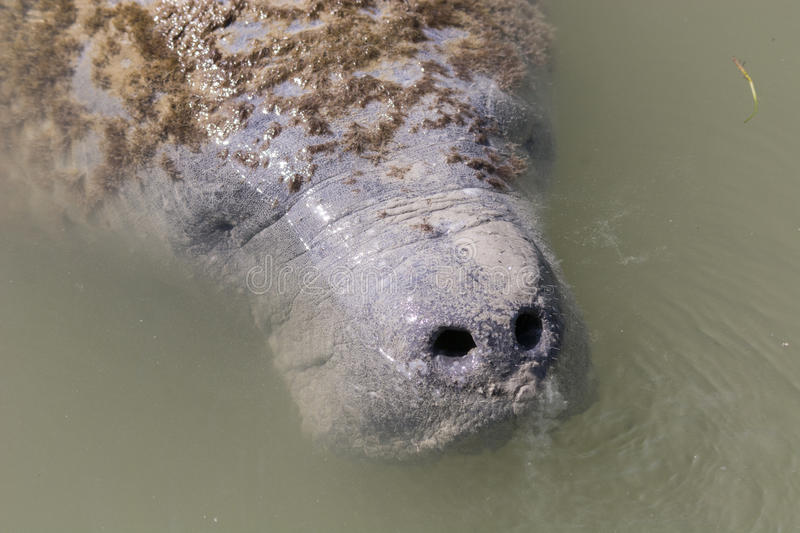 West Indian Manatee. In Florida Everglades National Park royalty free stock image