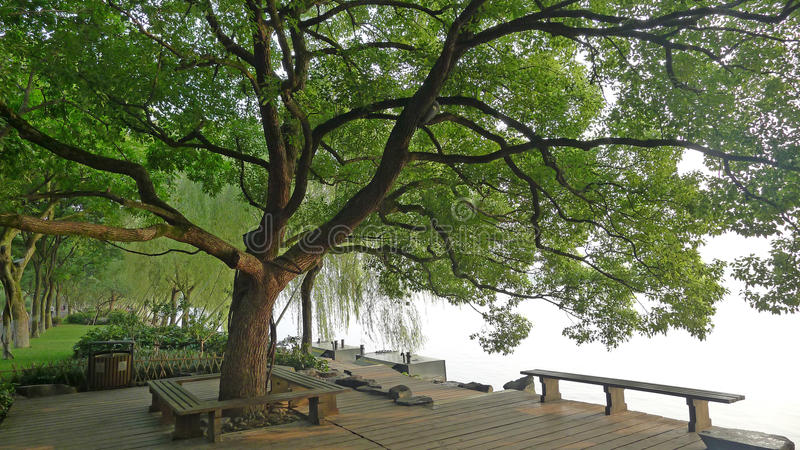West lake,Su Causeway with Camphor tree stock image