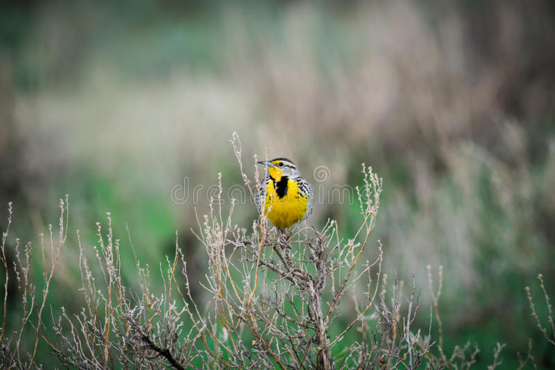 West-Meadowlark (Sturnella neglecta) stockbild