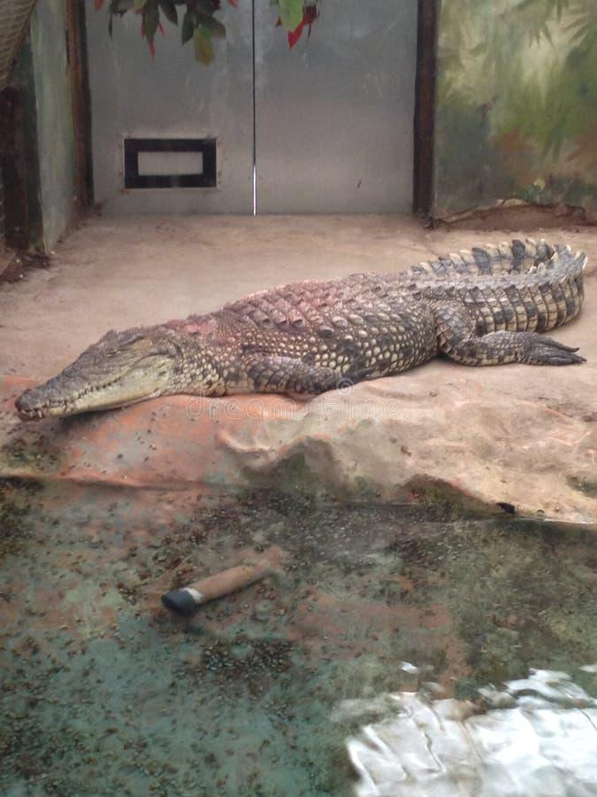 West midlands safari park, crocodile. Westmidlandssafaripark, animal royalty free stock photography