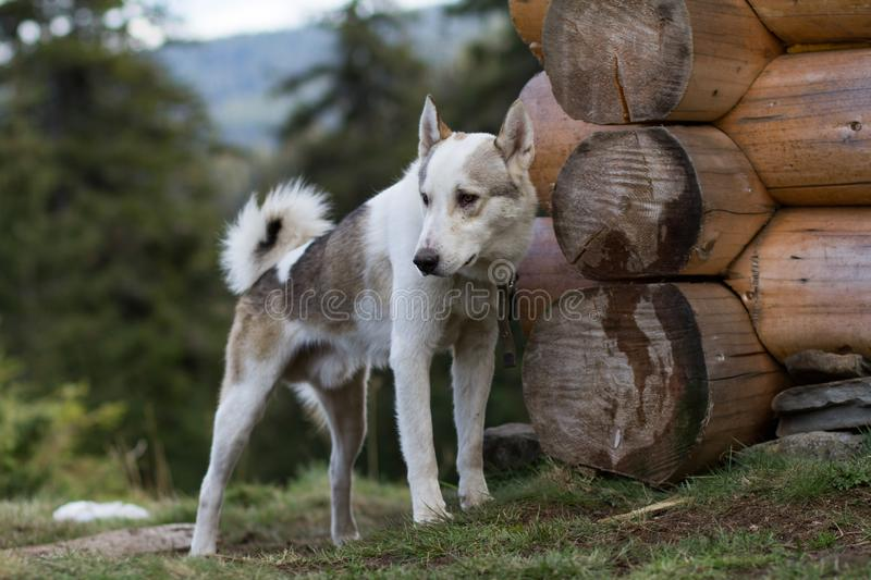 Russian hunter dog portrait. West siberian laika, russian hunting dog in mountains royalty free stock images