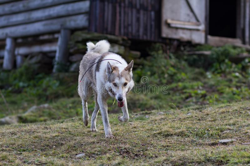 Russian hunter dog portrait. West siberian laika, russian hunting dog in mountains stock photography