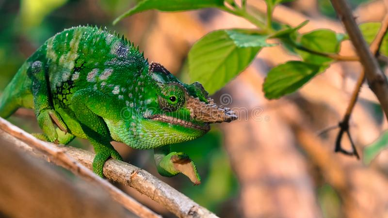 West Usambara two-horned chameleon or West Usambara blade-horned chameleon on stem of branch. royalty free stock photography