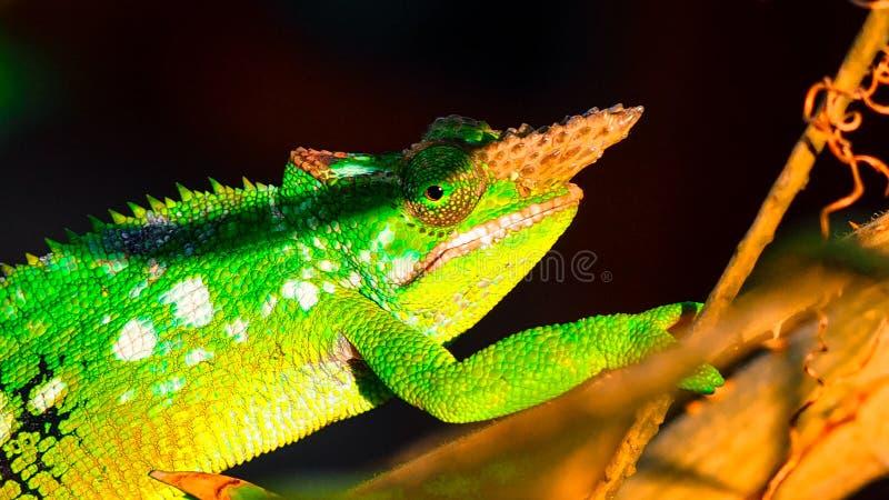 West Usambara two-horned chameleon or West Usambara blade-horned chameleon on stem of branch. royalty free stock image