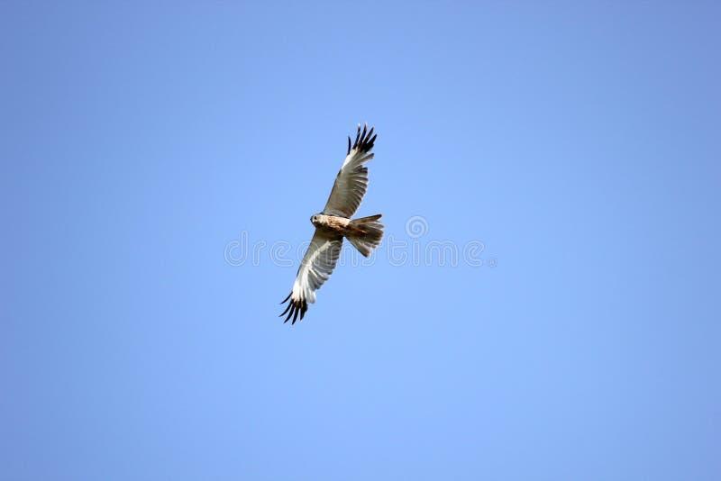 Westelijk Marsh Harrier royalty-vrije stock afbeeldingen