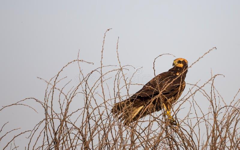 Westelijk Marsh Harrier stock afbeelding