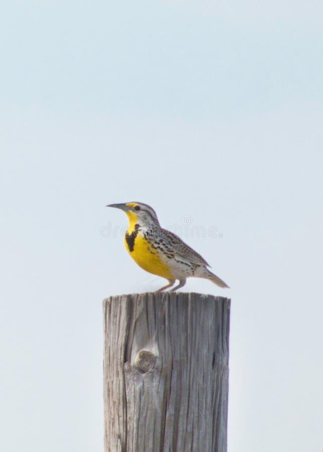Westelijk Meadowlark Perched op een Fencepost stock foto