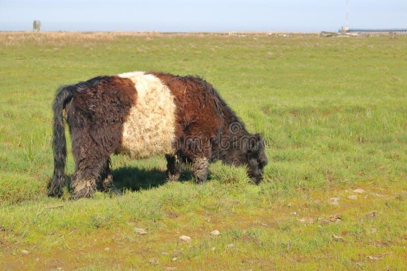 Westelijk Schots Omgord Galloway royalty-vrije stock fotografie
