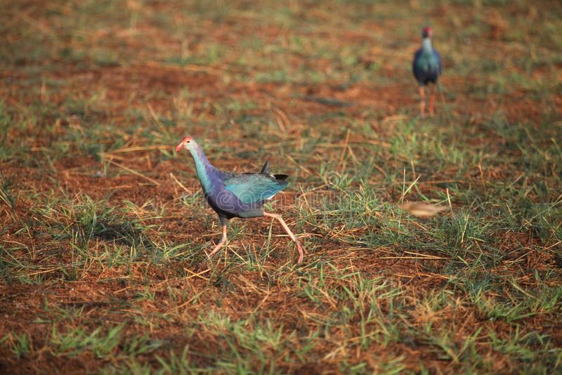 Westelijk swamphen, Porphyrio-porphyrio, het Nationale Park van Tadoba, Chandrapur, Maharashtra, India stock foto's