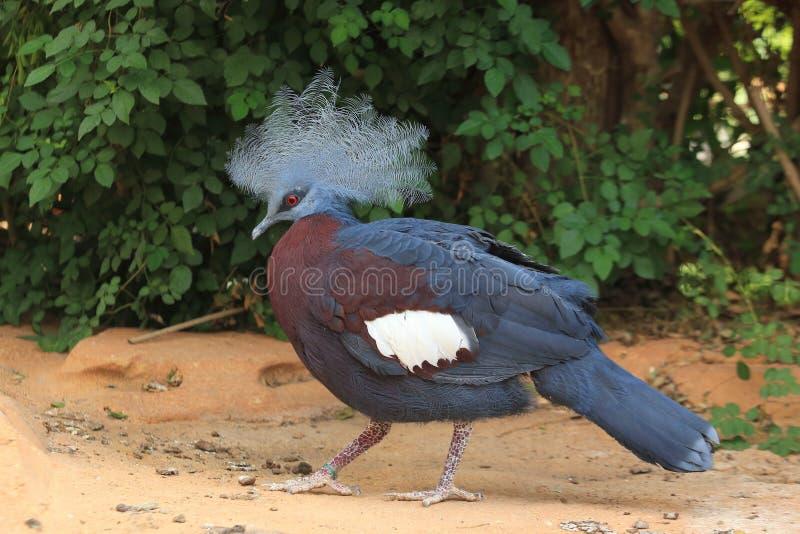Westelijke be*kronen-duif stock afbeelding