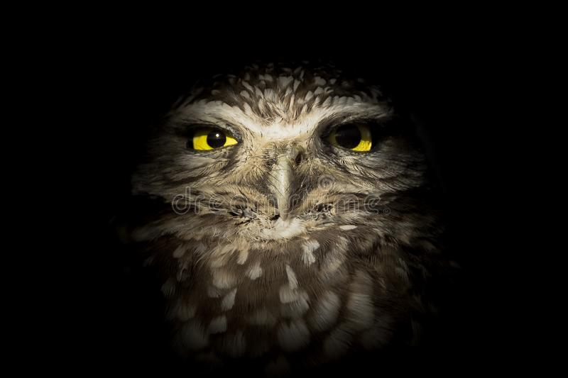 Westelijke Burrowing Owl Lurking in Dark - Nachtuil stock fotografie