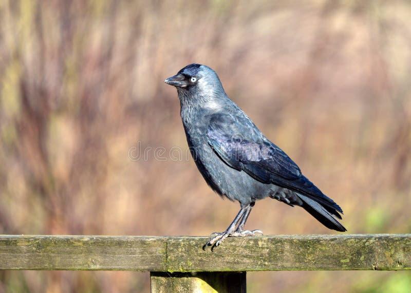 Westelijke die Kauw - Corvus-monedula, op een omheining wordt neergestreken royalty-vrije stock foto