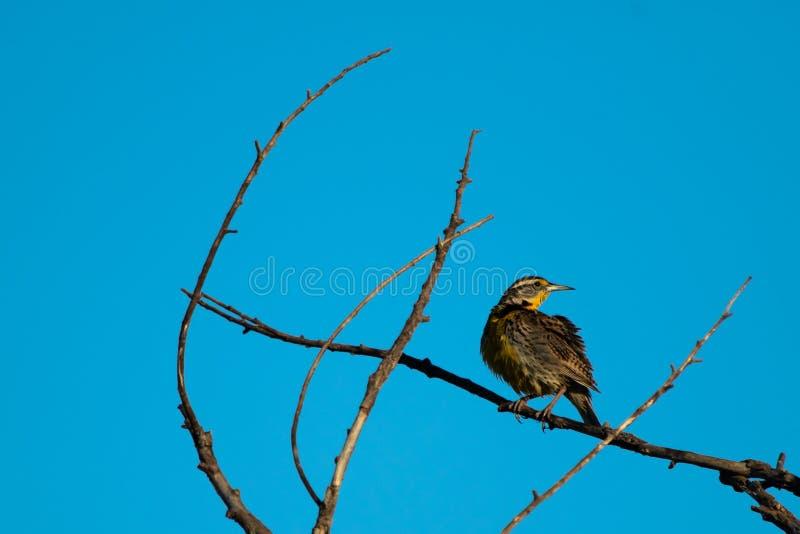 Westelijke gebogen Meadowlark stelt het vergelijken van takkrommen stock afbeelding