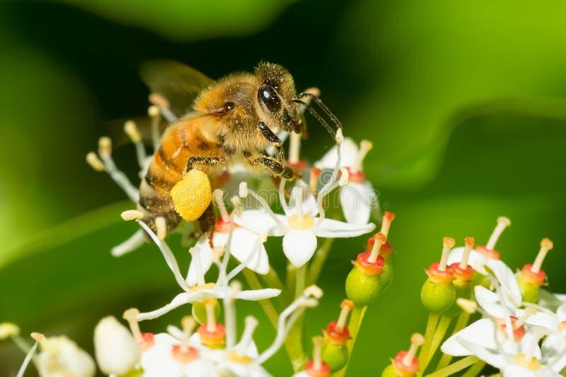 Westelijke Honey Bee - Apis Mellifera stock afbeelding