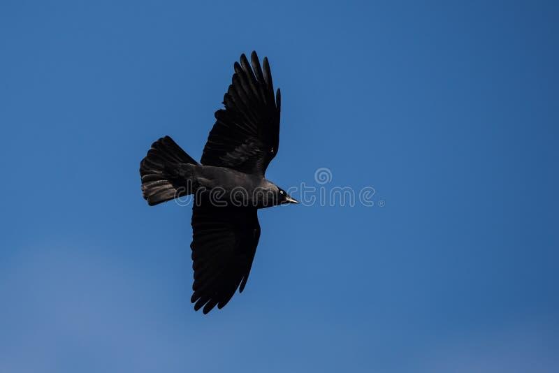 Westelijke Kauw, Corvus-monedula royalty-vrije stock afbeeldingen
