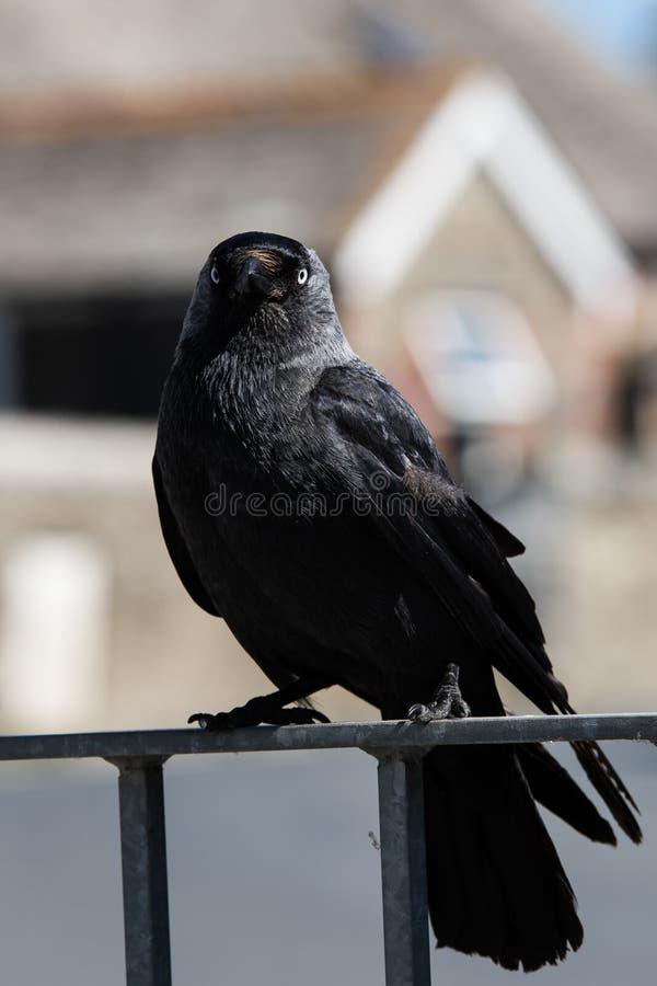 Westelijke Kauw, Corvus-monedula royalty-vrije stock foto's