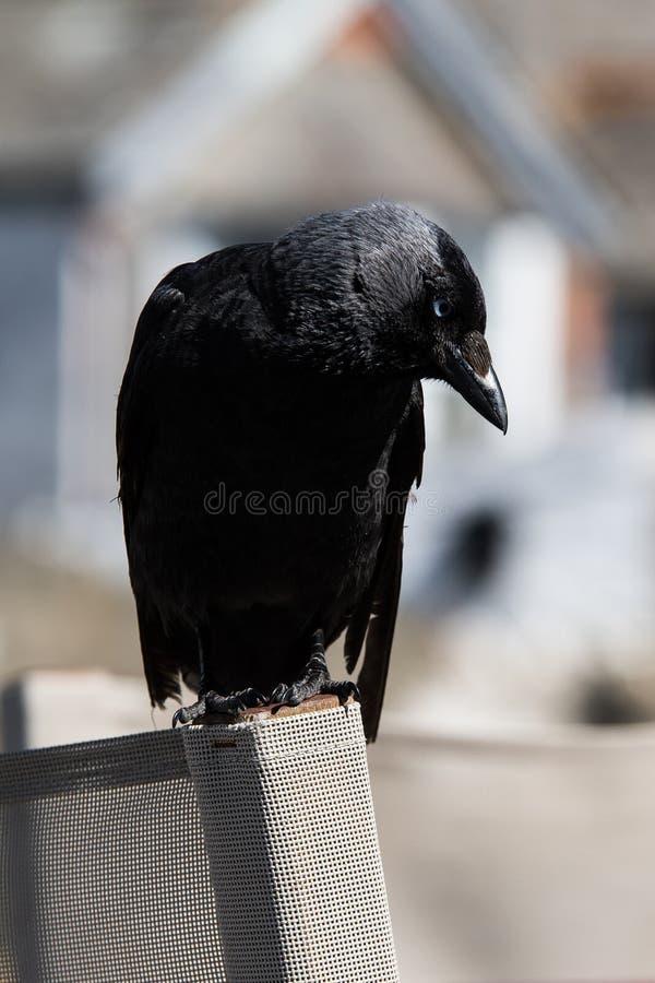 Westelijke Kauw, Corvus-monedula stock foto's