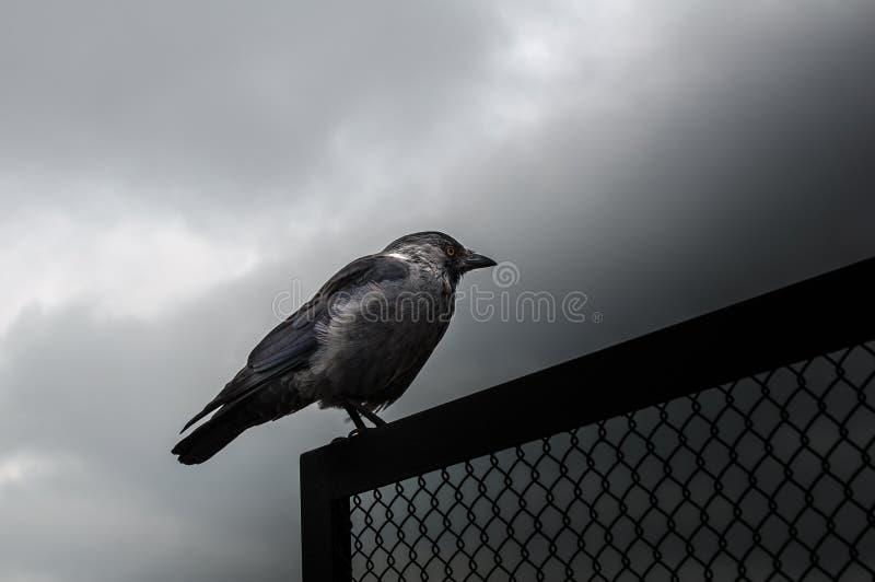 Westelijke Kauw, Corvus-monedula, kraai met gele ogen royalty-vrije stock foto
